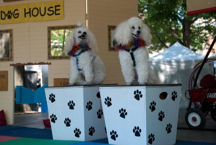 Poodles at festival