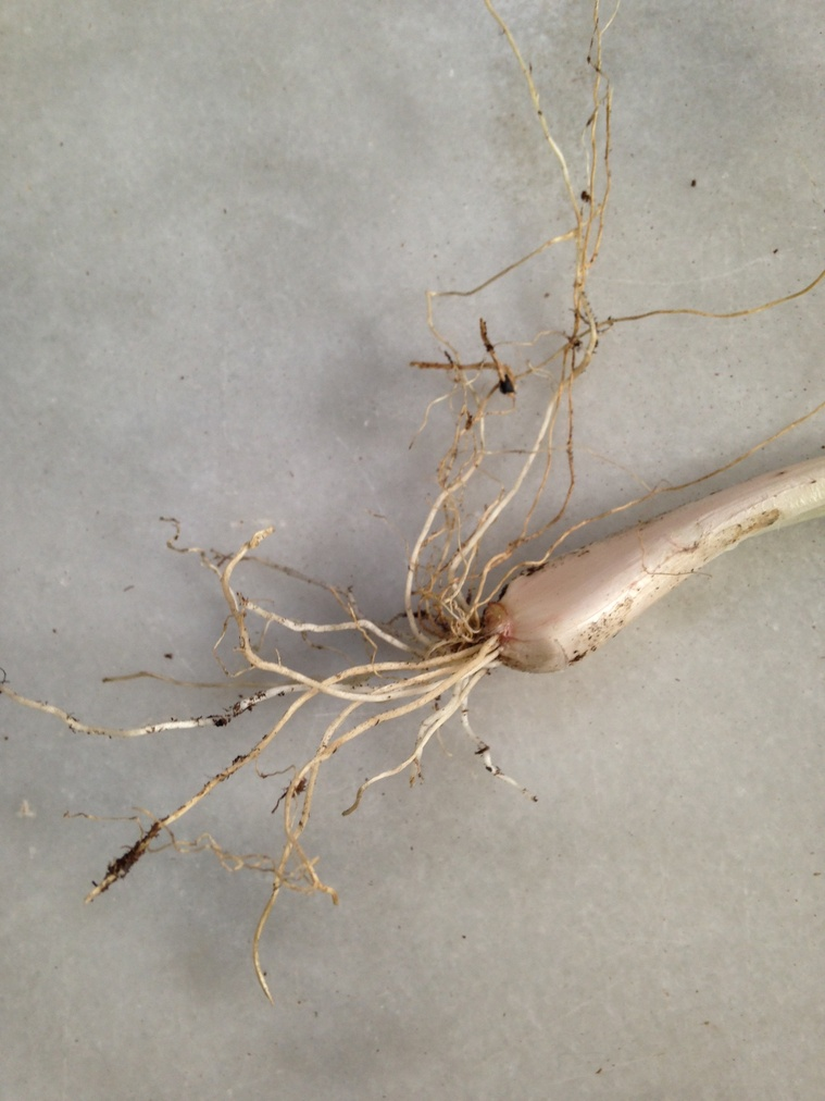 Green Onion Bulb and Roots