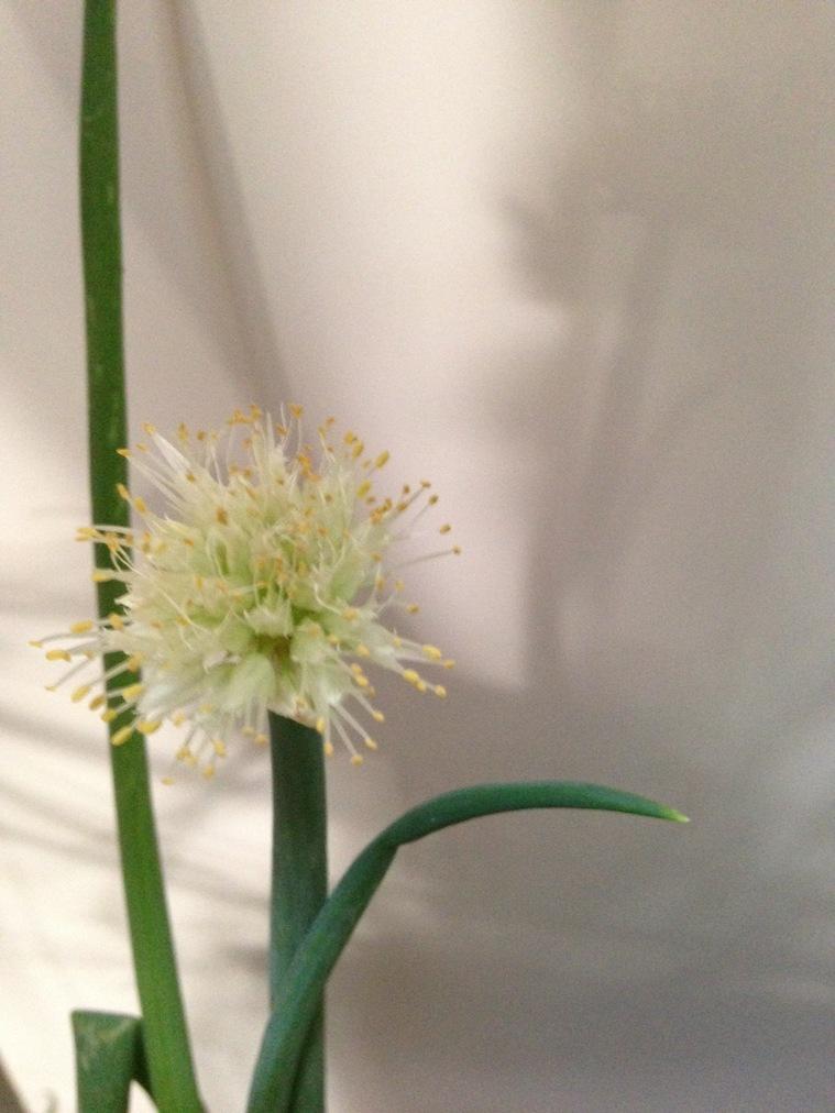 Green Onion Bloom