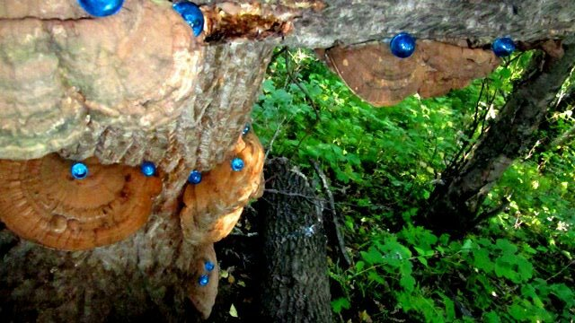 In the verdant woods of the Hidden Arboretum in Anchorage, a scattering of blue marbles glisten like dew drops on fans of orange-banded fungi, known as artist's conk.
