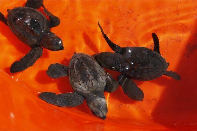 Three newly hatched sea turtles swim in glistening water in an orange tub.