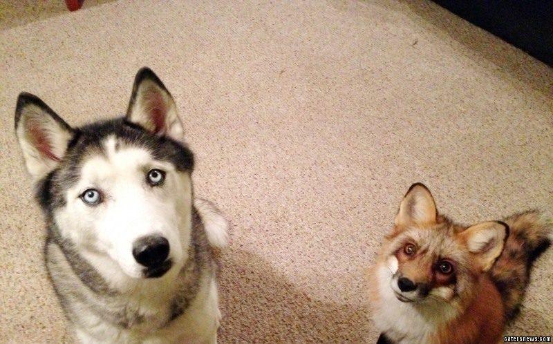 Husky and Fox